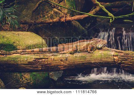 Green iguana lying on the branch of tree