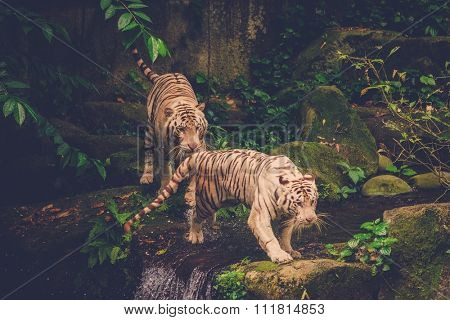 Two Bengal Tigers Playing deep in a jungle