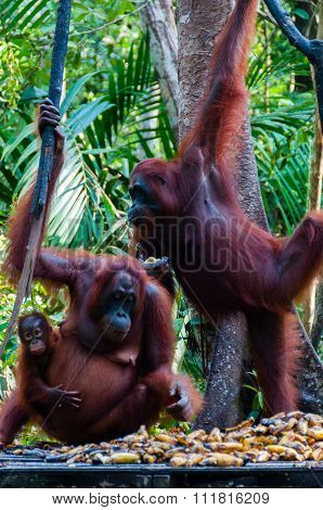 two Orang Utan hanging on a tree in the jungle, Indonesia