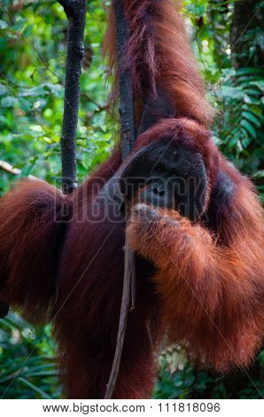 Alpha Male Orang Utan hanging on a tree in the jungle, Indonesia