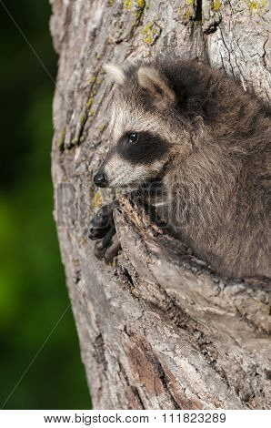 Young Raccoon (procyon Lotor) Profile In Tree