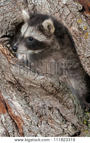 Young Raccoon (procyon Lotor) Pokes Head Out Of Knothole