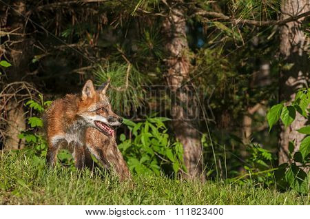 Red Fox Vixen (vulpes Vulpes) On Edge Of Woods