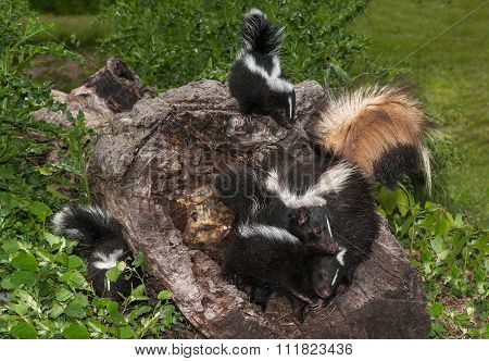 Striped Skunk (mephitis Mephitis) Family