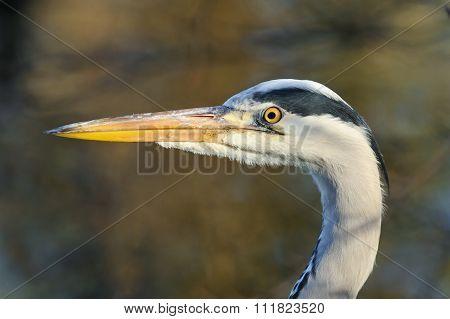 Portrait Of Adult Gray Heron, Netherlands