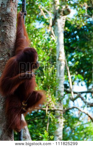Orang Utan hanging on a tree in the jungle, Indonesia