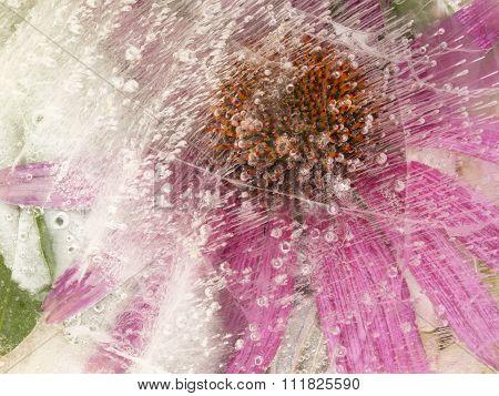 Echinacea Purpurea Flower Frozen In Ice