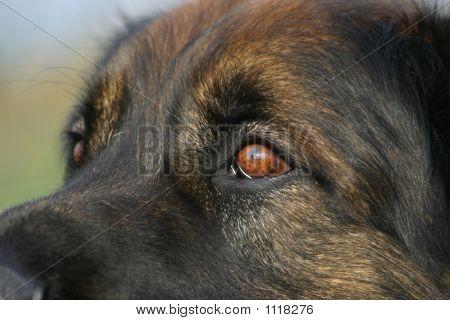 Mastiff Dog'S Eyes