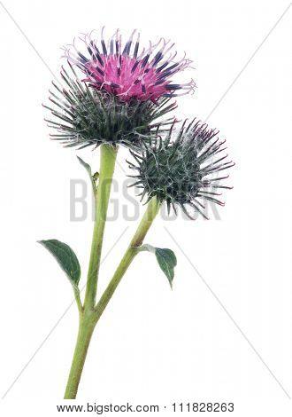 burdock flower isolated on white background
