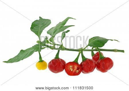 Closeup of a twig of Habanero chili pepper in red and yellow with one cross section, isolated on white background
