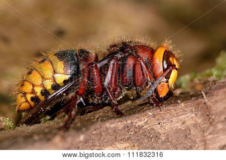 Hornet (Vespa crabro) queen
