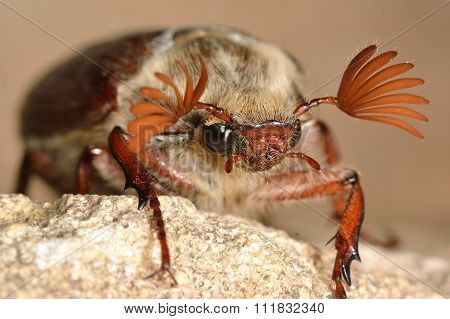 Cockchafer (Melolontha melolontha)  with antennae spread
