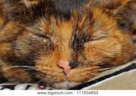 Closeup of a snout sleeping tortoiseshell cat