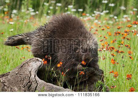 Porcupine (erethizon Dorsatum) Nibbles On Flower