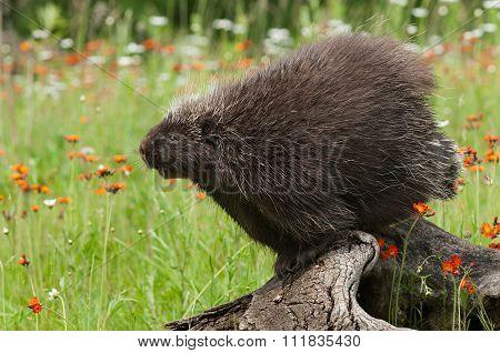 Porcupine (erethizon Dorsatum) Stretches Out