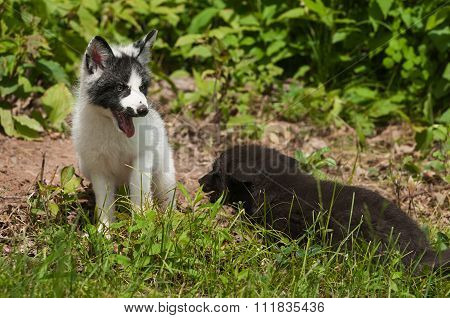 Young Marble Fox And Silver Fox (vulpes Vulpes) Playing