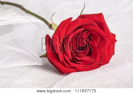 Single Red Rose on White Tulle Fabric Background
