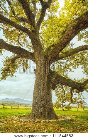 Big And Secular Oak Tree On A Green Meadow. Tuscany, Italy.