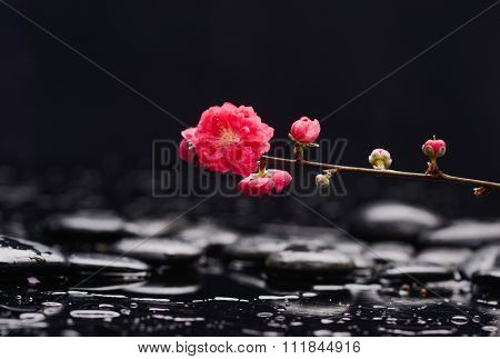 Branch red sakura flowers with therapy stones