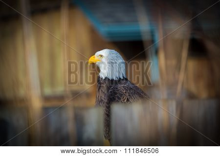 The majestic Bald Eagle.