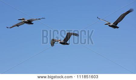 Pelicans Flying At La Jolla California