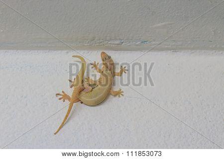 House Lizard Breeding On Wall