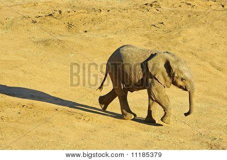 Walking Funny Elephant Calf