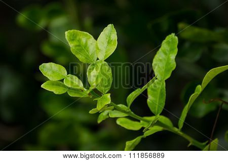 The Kaffir Lime Leaf And Branch With Green Background