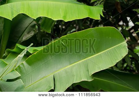 The Green Banana Leaves And Branch With Green Background