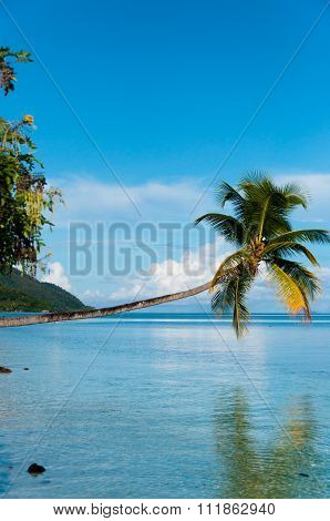 Fallen Coconut Tree hanging horizontal over The blue Ocean at a beach in Raja Ampat