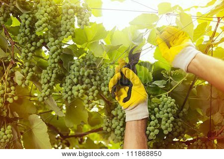 Senior winemaker in his vineyard, view from below, selective focus
