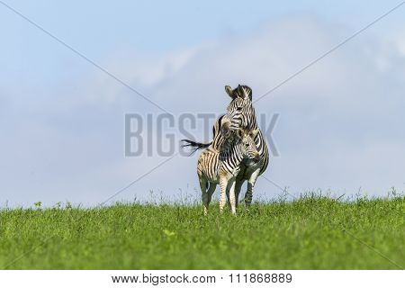 Zebra Calf Summer