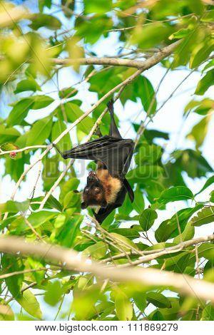 Bat hanging on a tree branch Malayan bat