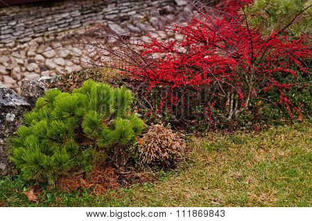 Bush Lingonberry With Berries Near Coniferous Bush