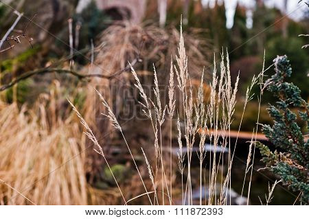 Tall Grass Of  Feather Reed