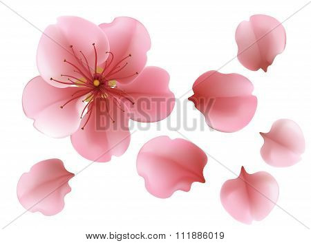 One Blossoming Pink Sacura Cherry  Tree Flower Against White Background