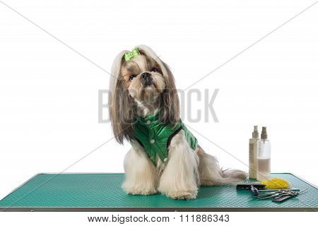 Well Groomed Shih-tzu At The Groomer Table In Green Dog Costume