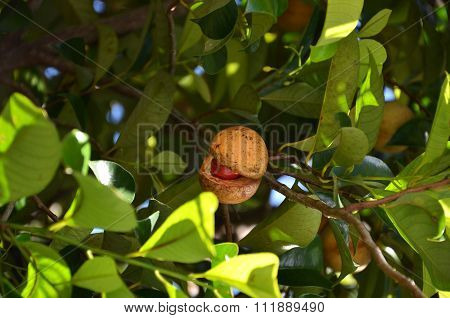 Colorful Photo Of Nutmeg Fruit On The Tree