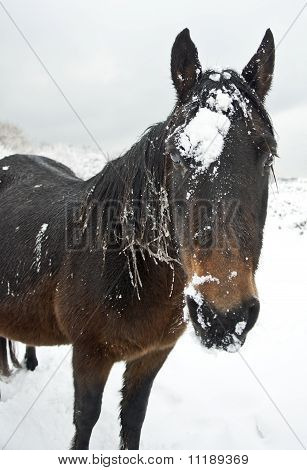 A cute brown horse covered in snow.