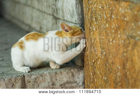European short-hair cat calling hiding mouse out to honest duel