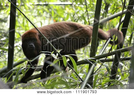 Monkey - Alouatta Caraya