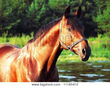 bay trakehner stallion in the river