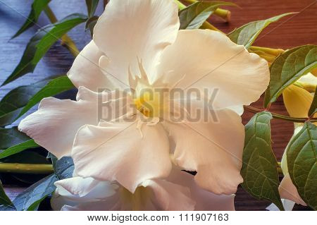 White Oleander Flower Closeup.