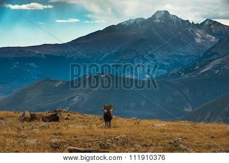 Wild Bighorn Sheep Ovis Canadensis Rocky Mountain Colorado