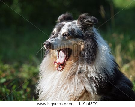Portrait of  beautiful sheltie dog