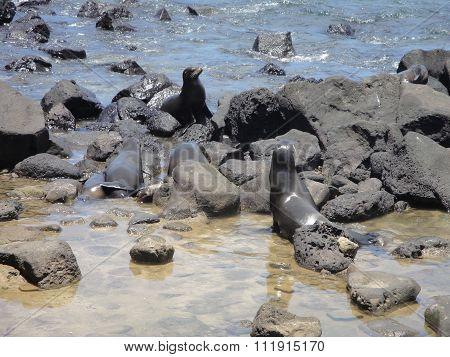 leones marinos en la isla lobos