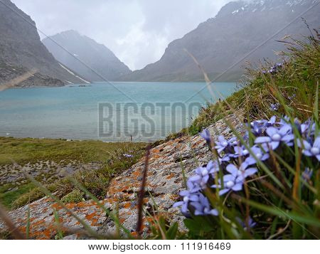 Lake Alla Kol In Kyrgyzstan With A Bunch Of Small Blue Flowers In Forefront