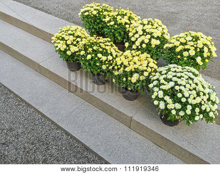 Yellow Chrysanthemums On Stone Steps