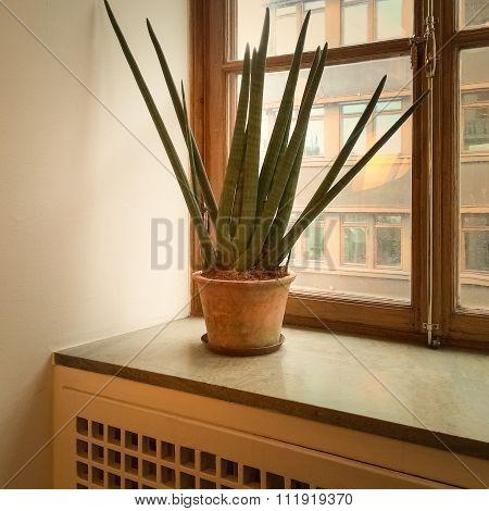 Sansevieria Plant On A Window Sill