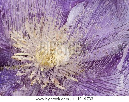 Abstraction Of Clematis In The Ice